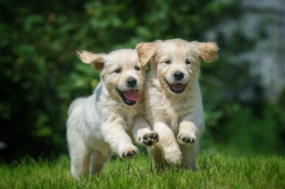 Uber Is Delivering Puppies In Australia Today Australia Business News
